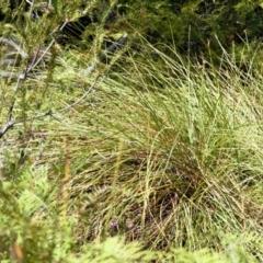 Gymnoschoenus sphaerocephalus at Jervis Bay National Park - 23 Oct 2017