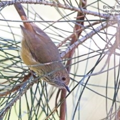 Acanthiza pusilla (Brown Thornbill) at Conjola Bushcare - 28 Apr 2015 by Charles Dove