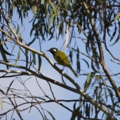 Nesoptilotis leucotis (White-eared Honeyeater) at Illilanga & Baroona - 21 Apr 2013 by Illilanga