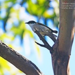 Melithreptus lunatus (White-naped Honeyeater) at Garrad Reserve Walking Track - 27 Apr 2015 by Charles Dove
