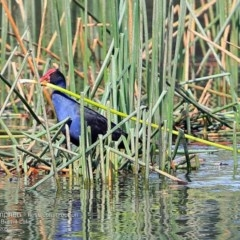 Porphyrio porphyrio (Purple Swamphen) at Wairo Beach and Dolphin Point - 15 Apr 2015 by CharlesDove