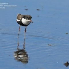 Erythrogonys cinctus (Red-kneed Dotterel) at Milton, NSW - 15 Apr 2015 by Charles Dove
