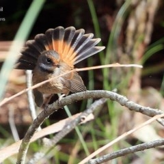 Rhipidura rufifrons (Rufous Fantail) at Narrawallee Creek Nature Reserve - 17 Apr 2015 by Charles Dove