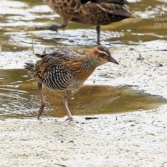 Gallirallus philippensis (Buff-banded Rail) at Wairo Beach and Dolphin Point - 11 Apr 2015 by Charles Dove