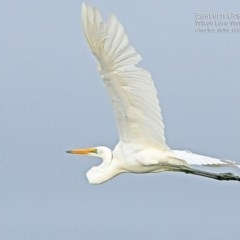 Ardea alba (Great Egret) at Milton, NSW - 10 Apr 2015 by Charles Dove