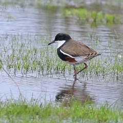 Erythrogonys cinctus (Red-kneed Dotterel) at Milton, NSW - 9 Apr 2015 by Charles Dove