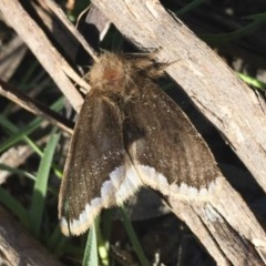 Euproctis marginalis (Margined Browntail Moth) at Illilanga & Baroona - 16 Dec 2017 by Illilanga