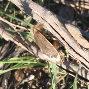 Euproctis marginalis at Michelago, NSW - 17 Dec 2017