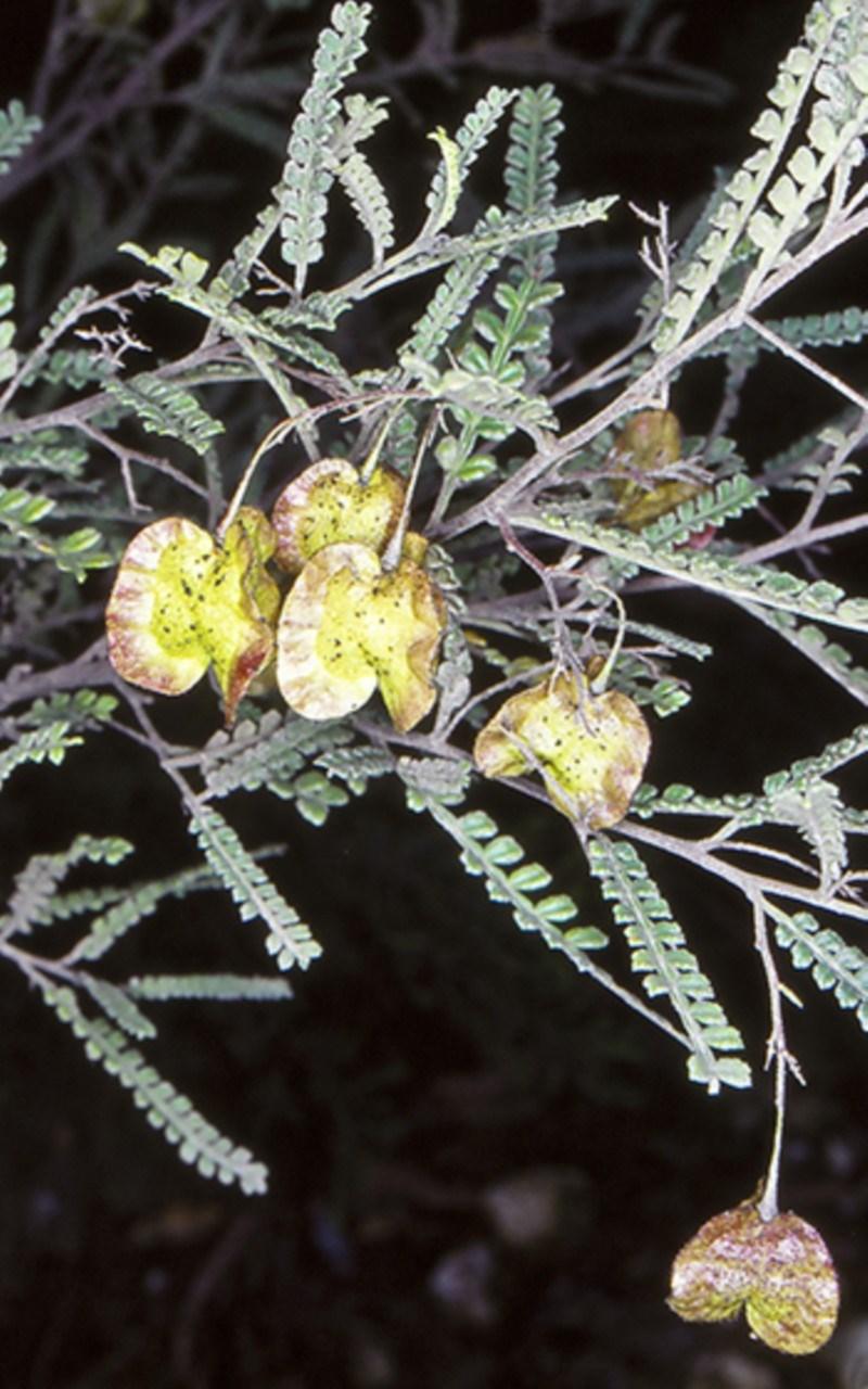Dodonaea multijuga at Flat Rock State Forest - 16 Oct 1998
