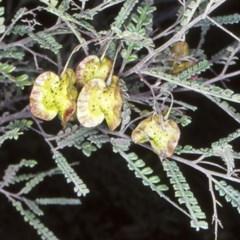 Dodonaea multijuga (A hopbush) at Flat Rock State Forest - 15 Oct 1998 by BettyDonWood
