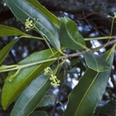 Elaeodendron australe var. australe (Red Olive Plum) at Boyne State Forest - 14 Oct 1998 by BettyDonWood