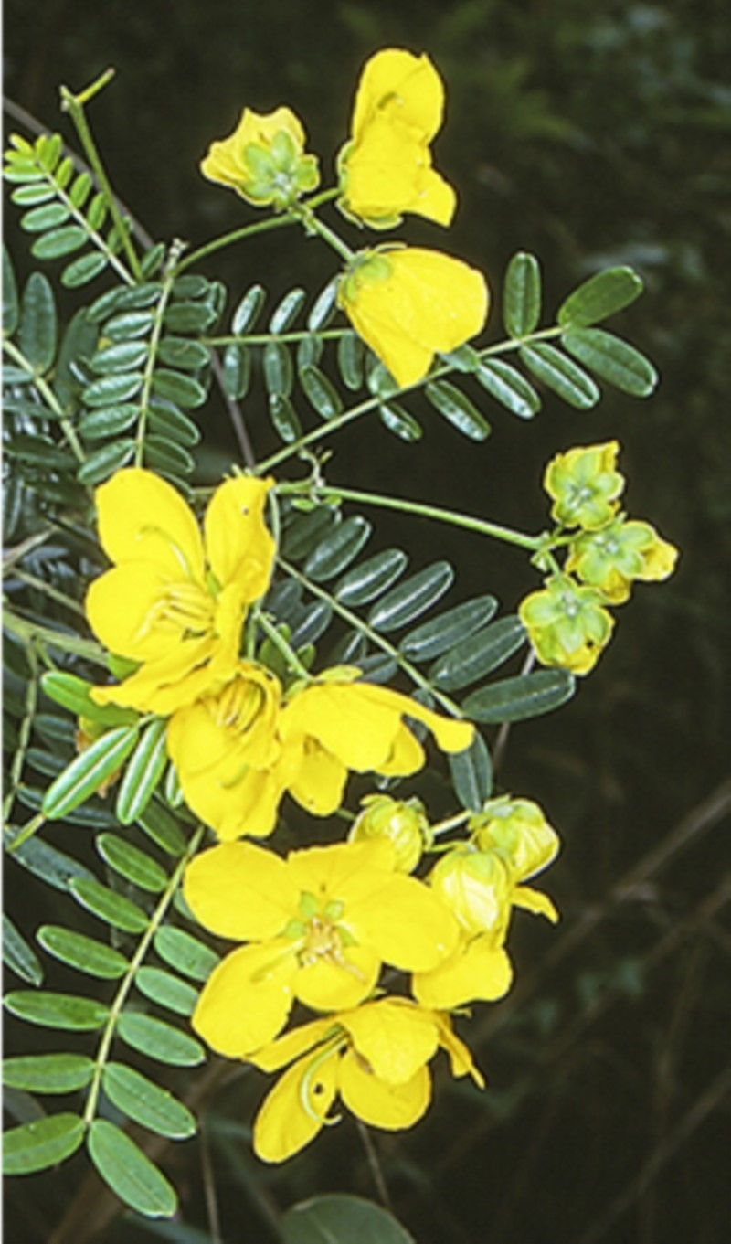 Senna barronfieldii at Boyne State Forest - 15 Oct 1998