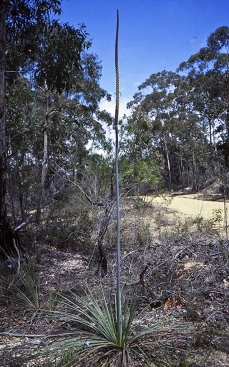 Xanthorrhoea concava at Boyne State Forest - 15 Oct 1998