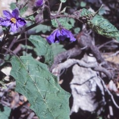 Solanum silvestre (Violet Nightshade) at Monga National Park - 24 Sep 1998 by BettyDonWood