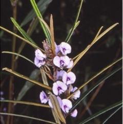 Hovea longifolia (Long-leaf Hovea) at Mogo State Forest - 8 Aug 1998 by BettyDonWood