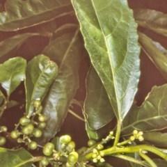 Claoxylon australe (Brittlewood) at Undefined - 27 Jan 1998 by BettyDonWood