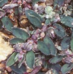 Euphorbia maculata (Eyebane) at Mogo State Forest - 27 Jan 1998 by BettyDonWood