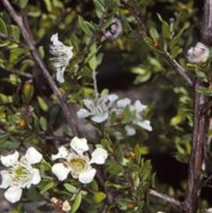 Leptospermum thompsonii (Monga tea-tree, Clyde Mountain tea-tree) at Mogo State Forest - 27 Jan 1998 by BettyDonWood