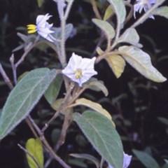 Solanum hapalum (Furry Nightshade) at Mogo State Forest - 27 Jan 1998 by BettyDonWood