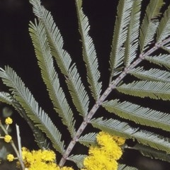 Acacia filicifolia at Bomaderry Creek Walking Track - 8 Aug 1997 by BettyDonWood