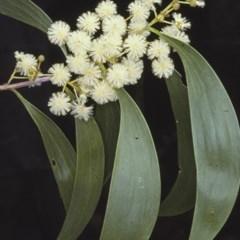 Acacia implexa (Hickory, Lightwood) at Saint Georges Basin, NSW - 27 Dec 1996 by BettyDonWood
