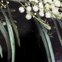 Acacia mabellae (Black Wattle) at Morton National Park - 29 Sep 1997 by BettyDonWood