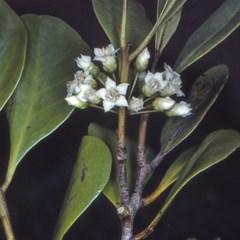Aegiceras corniculatum (River Mangrove) at Bens Walking Track - 26 Sep 1997 by BettyDonWood