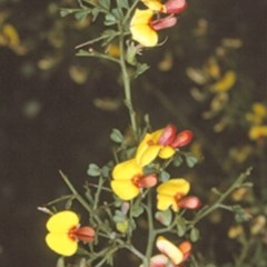 Bossiaea obcordata (Spiny Bossiaea) at Bangalee, NSW - 14 Sep 1996 by BettyDonWood