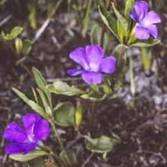 Brunoniella pumilio (Dwarf Blue Trumpet) at Conjola National Park - 27 Dec 1996 by BettyDonWood
