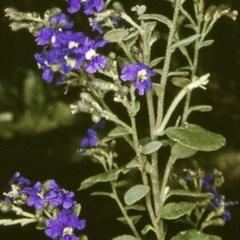 Dampiera purpurea (Mountain Dampiera) at Monga National Park - 20 Nov 1996 by BettyDonWood