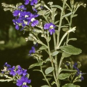 Dampiera purpurea at Monga National Park - 21 Nov 1996