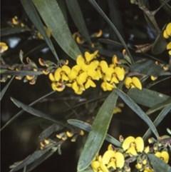 Daviesia suaveolens at Monga National Park - 3 Oct 1997 by BettyDonWood