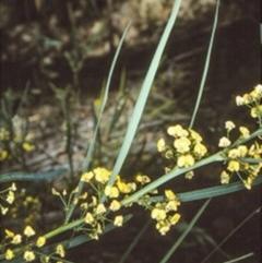Daviesia wyattiana (Long-leaf Bitter-pea) at Yadboro State Forest - 1 Oct 1997 by BettyDonWood