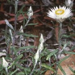 Helichrysum leucopsideum (Satin Everlasting) at Mogo State Forest - 15 Nov 1997 by BettyDonWood