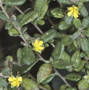 Hibbertia aspera subsp. aspera at Benandarah State Forest - 18 Sep 1996