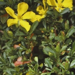 Hibbertia diffusa (Wedge Guinea Flower) at Mogo State Forest - 15 Nov 1997 by BettyDonWood