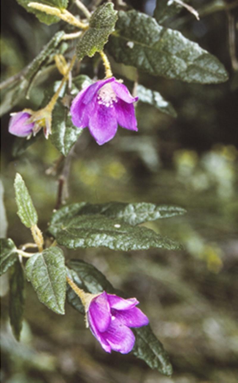Howittia trilocularis at Monga National Park - 21 Nov 1996