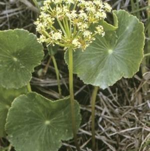 Hydrocotyle bonariensis at Comerong Island Nature Reserve - 28 Dec 1996