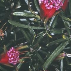Lambertia formosa (Mountain Devil) at South Pacific Heathland Reserve - 13 Nov 1996 by BettyDonWood