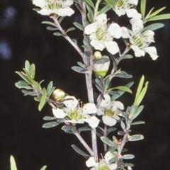 Leptospermum polygalifolium subsp. polygalifolium (Yellow Teatree) at McDonald State Forest - 13 Nov 1997 by BettyDonWood