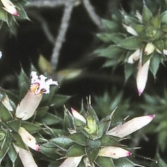 Leucopogon neo-anglicus at Morton National Park - 25 Sep 1997 by BettyDonWood