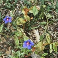 Lysimachia arvensis (Scarlet Pimpernel, Blue Pimpernel) at Murramarang National Park - 16 Nov 1997 by BettyDonWood
