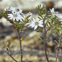 Olearia iodochroa (Violet Daisy-bush) at Mogo State Forest - 12 Aug 1997 by BettyDonWood