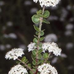Platysace lanceolata (Shrubby Platysace) at Mogo State Forest - 15 Nov 1997 by BettyDonWood
