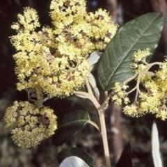 Pomaderris intermedia (Lemon Dogwood) at Yadboro State Forest - 1 Oct 1997 by BettyDonWood