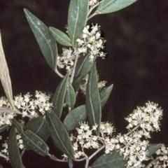 Pomaderris ligustrina subsp. ligustrina (Privet Pomaderris) at Wandera State Forest - 4 Oct 1997 by BettyDonWood