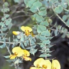 Pultenaea spinosa (Spiny Bush-pea, Grey bush-pea) at Yadboro State Forest - 16 Nov 1997 by BettyDonWood