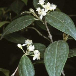 Rhodamnia rubescens at South Brooman State Forest - 13 Nov 1996