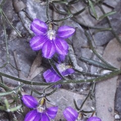 Scaevola ramosissima (Hairy Fan-flower) at Currowan State Forest - 25 Dec 1995 by BettyDonWood