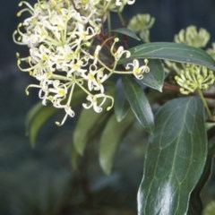 Stenocarpus salignus (Scrub Beefwood) at Mogo State Forest - 15 Nov 1997 by BettyDonWood